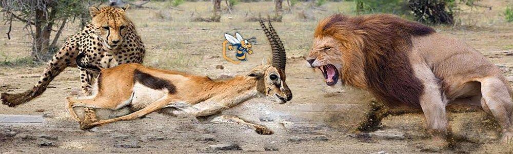 leoni e gazzelle